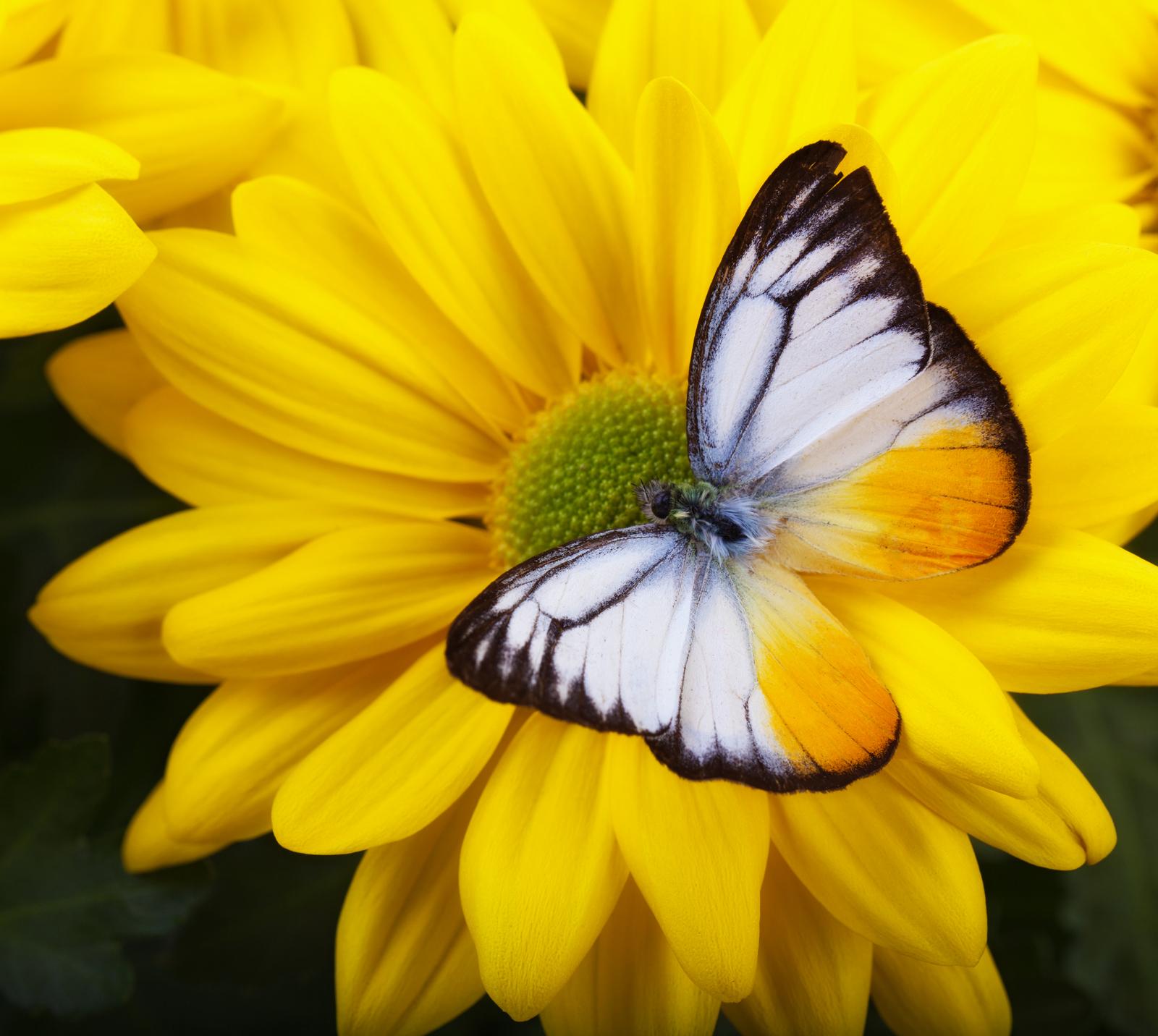 Lesser Gull Butterfly on Yellow Chrysanthemum